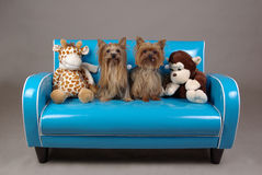 Dogs on retro blue couch. Two yorkshire terrier on miniature  blue retro couch Royalty Free Stock Images