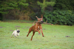 Dogs Rhodesian Ridgeback & Pug playing. Rhodesian Ridgeback and pug is playing in the garden Stock Photography
