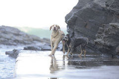 Dogs between the rocks Royalty Free Stock Images