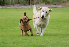 Dogs with rope toy. Two dogs walking along the field tugging on their rope toy royalty free stock photos