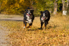 Dogs run fast Royalty Free Stock Photography
