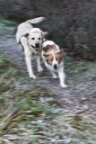 Dogs run and play. Two dogs run around and have fun in the countryside Stock Image