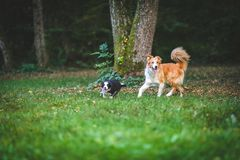 Dogs run and play together. Two border collie dogs are running and playing together on a field. Action stock images