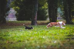 Dogs run and play together royalty free stock photo
