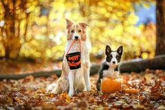 Dogs run and play together. Two border collie dogs are running and playing together on a field. Action royalty free stock images