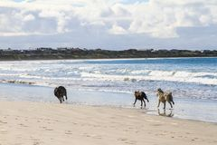 Dogs run on sandy beach chase each other Royalty Free Stock Photography