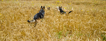 Dogs. Are runing in a field Royalty Free Stock Photos