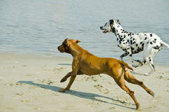 Dogs running Royalty Free Stock Images
