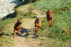 Dogs running stock photo
