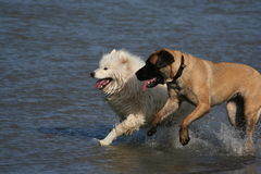 Dogs running. Two dogs running side by side in the water Stock Images
