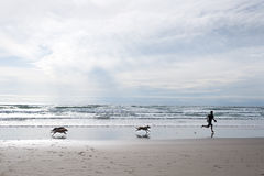 Dogs are running after an adult male on the beach Stock Photos