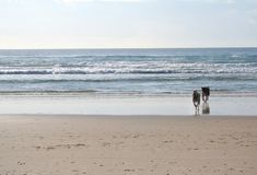 Dogs running on beach. Two dogs running on sandy beach with sea in background royalty free stock photos