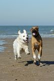 Dogs running on beach Stock Photo