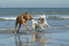 Dogs running on beach Royalty Free Stock Photos
