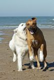 Dogs running on beach Royalty Free Stock Photo