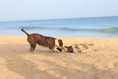 Dogs running on the beach Royalty Free Stock Image