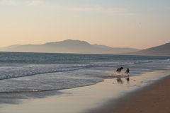 Dogs running on the beach royalty free stock images