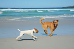 Dogs running on a beach Royalty Free Stock Image