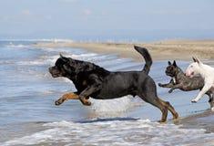 Dogs running on the beach. Rottweiler, bull terrier et french bulldog running on the beach Royalty Free Stock Image