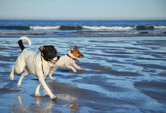Dogs running on the beach Stock Images