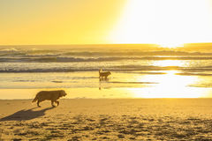 Dogs running on the beach Royalty Free Stock Photos