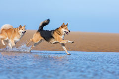 Dogs running on the beach. Two dogs running on the beach through the water Royalty Free Stock Image