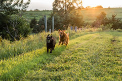 Dogs running in field Royalty Free Stock Photos