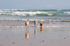 Dogs running into ocean royalty free stock images