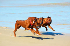 Dogs running in pack. A pack of three fast running Rhodesian Ridgeback hound dogs hunting together in a pack Royalty Free Stock Image