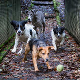 Dogs Running and Playing Royalty Free Stock Photography