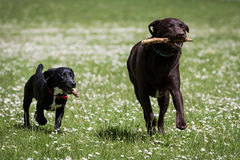 Dogs Running and Playing Stock Images