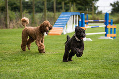 Dogs Running and Playing Royalty Free Stock Photos