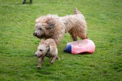 Dogs Running and Playing. In a grassy meadow Stock Photography