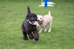 Dogs Running and Playing Stock Image