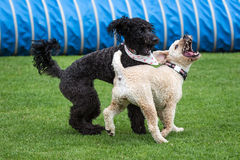 Dogs Running and Playing Stock Photo