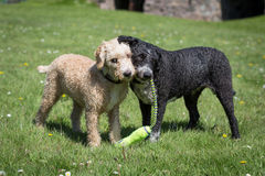 Dogs Running and Playing Stock Photos