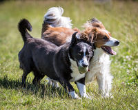 Dogs Running and Playing. Dogs living life to the full running and playing Royalty Free Stock Image