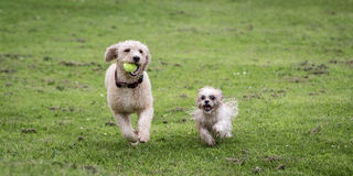 Dogs Running and Playing. In a Meadow stock image