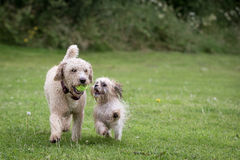Dogs Running and Playing. In a Meadow Stock Photos