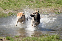 Dogs running side by side. Two dogs running side by side through the water. One of them is slightly in front and gives the other a good shower stock photography