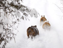 Dogs running in snow Stock Image