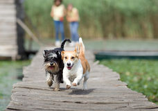 Dogs running royalty free stock photos