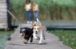 Dogs running Royalty Free Stock Photo