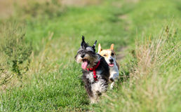 Dogs running stock image