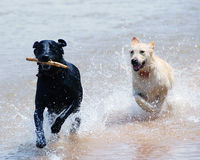 Dogs running through water