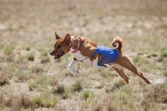 Coursing. Basenji dogs runs across the field Royalty Free Stock Photography