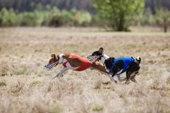 Coursing. Basenji dogs runs across the field Royalty Free Stock Photos