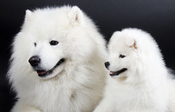 dogs samoyed två Royaltyfria Foton