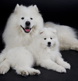 dogs samoyed två Royaltyfri Fotografi