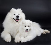 dogs samoyed två Royaltyfri Foto